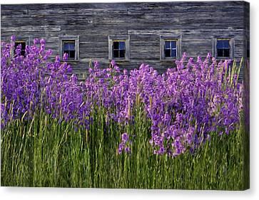 Flowers - Windows In Weathered Barn - 2 Canvas Print by Nikolyn McDonald