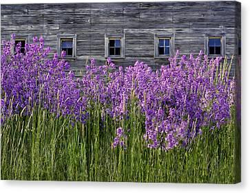 Flowers - Windows In Weathered Barn Canvas Print by Nikolyn McDonald
