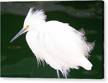 Fluffed Up Egret Canvas Print by Shoal Hollingsworth