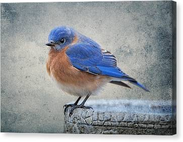 Fluffy Bluebird Canvas Print by Bonnie Barry