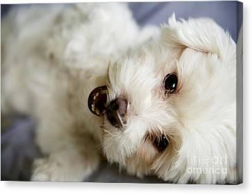 Fluffy Puppy Canvas Print
