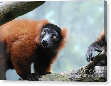 Fluffy Red Ruffed Lemur With Yellow Eyes Canvas Print