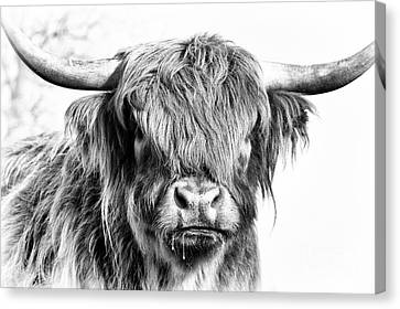 Cow Canvas Print - Fluffys Big Brother  by Tim Gainey