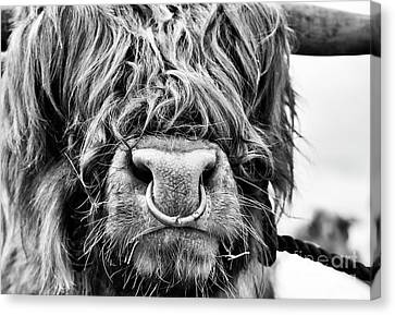 Canvas Print featuring the photograph Fluffys Grumpy Uncle by Tim Gainey