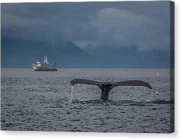 Whalers Cove Canvas Print - Fluke And A Fishing Boat by Wild Montana Images