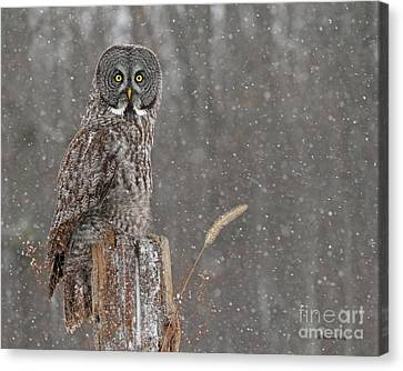 Flurries In The Forecast Canvas Print by Heather King