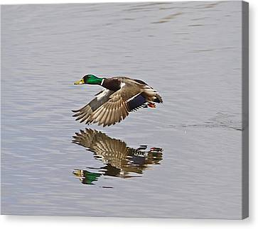 Fly And Reflect Canvas Print by Robert Pearson