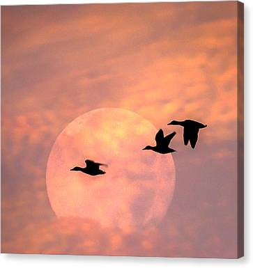 Fly High Moon Geese Square Canvas Print by Terry DeLuco