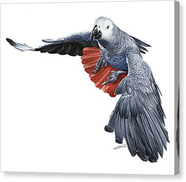 Flying African Grey Parrot Canvas Print by Owen Bell