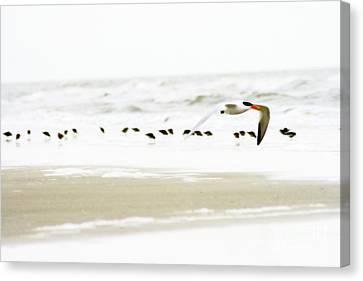 Beach Theme Decorating Canvas Print - Tern In Flight by Angela Rath