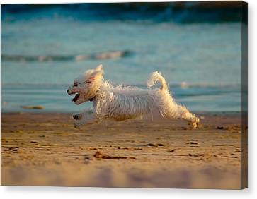 Maltese Canvas Print - Flying Dog by Harry Spitz