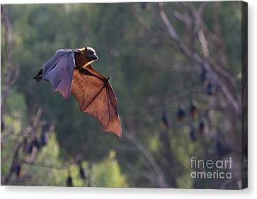 Flying Fox In Mid Air Canvas Print by Craig Dingle