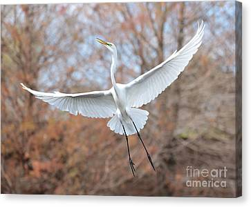 Flying Great Egret In Brown Canvas Print by Carol Groenen