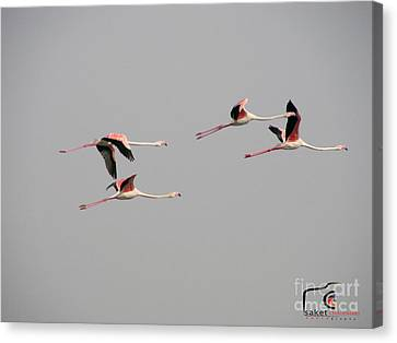 Flying Greater Flamingos Canvas Print by Saket Chaudhari