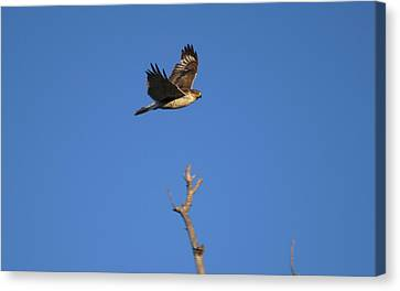 Flying Hawk I  Canvas Print by Christopher Wood