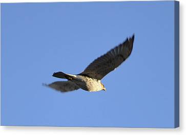 Flying Hawk II Canvas Print by Christopher Wood
