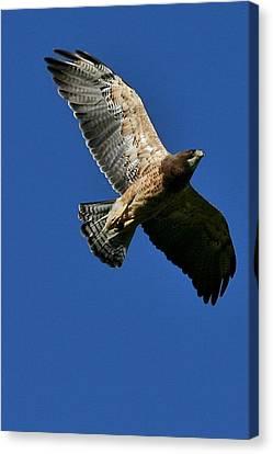 Flying Hawk Under A Blue Sky Canvas Print by Mario Brenes Simon
