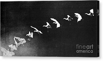 Terrestrial Canvas Print - Flying Heron, 1886 by Science Source