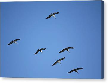 Flying In Formation Canvas Print