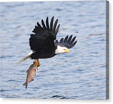 Flying Off With The Catch Canvas Print by Gerry Sibell