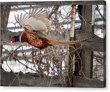 Flying Pheasant Canvas Print