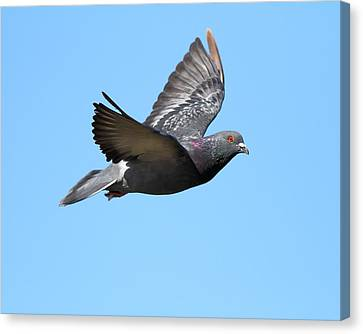Flying Pigeon . 7d8640 Canvas Print by Wingsdomain Art and Photography