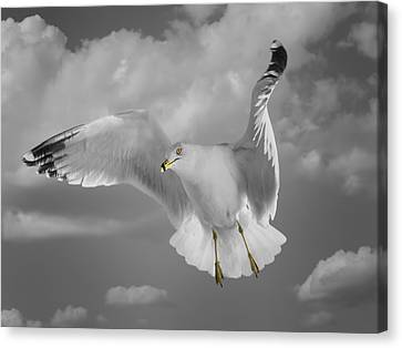 Flying Solo Canvas Print by Steven  Michael