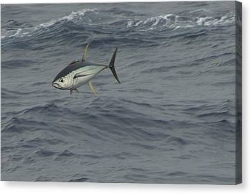 Canvas Print featuring the photograph Flying Tuna by Bradford Martin
