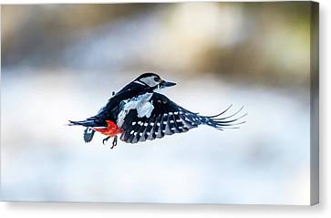 Canvas Print featuring the photograph Flying Woodpecker by Torbjorn Swenelius