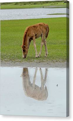 Canvas Print - Foal Eating Grass By The Water by Dan Friend