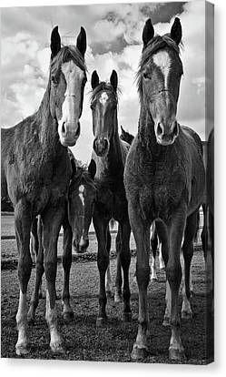 Foal Spring Canvas Print