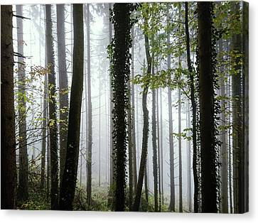 Foggy Forest Canvas Print by Chevy Fleet