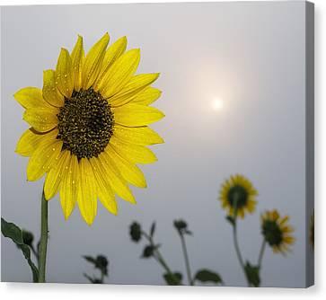 Foggy Sunflowers Canvas Print