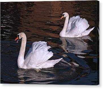 Follow Me - Pair Of Mute Swans - Wings Up Canvas Print by Gill Billington