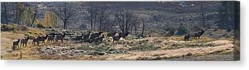 Follow The Leader - Elk In Rut Canvas Print by Mark Kiver