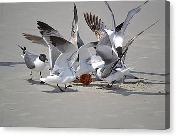 Food Fight - Gulls At The Beach Canvas Print