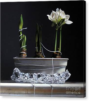 Forcing Amaryllis Canvas Print