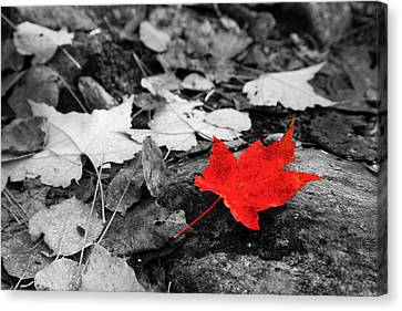Forest Floor Maple Leaf Canvas Print by Adam Pender