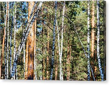 Frailty Canvas Print - Forest, Full Of Birch And Pine Trees, Plays With Shadows  by Sergey Orlov