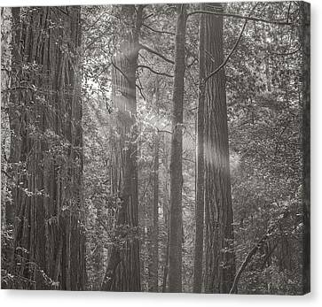 Forest Light Canvas Print by Joseph Smith