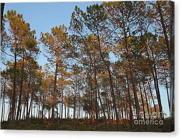 Forest Pine Trees At Sunset Canvas Print