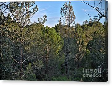 Forest Pine Trees At Sunset In Ludo Canvas Print