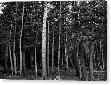 Forest Tree Views In Black And White  Canvas Print