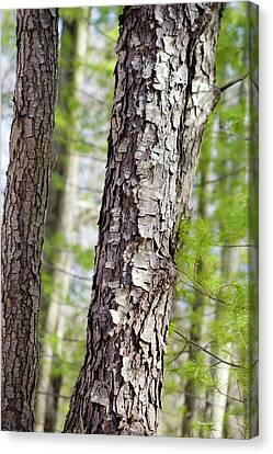 Canvas Print featuring the photograph Forest Trees by Christina Rollo
