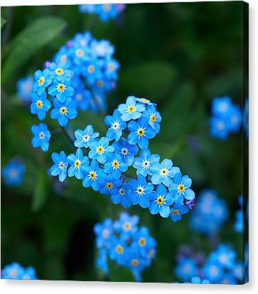 Forget -me-not 5 Canvas Print by Jouko Lehto