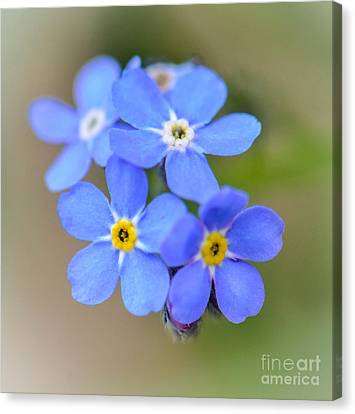 Forget Me Not Canvas Print by Amy Porter