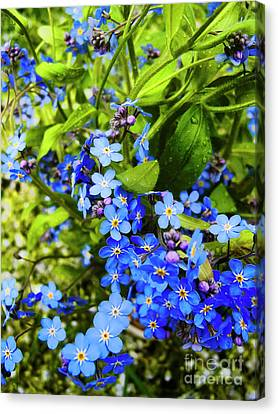 Forget-me-not Flowers Canvas Print by Nat Air Craft