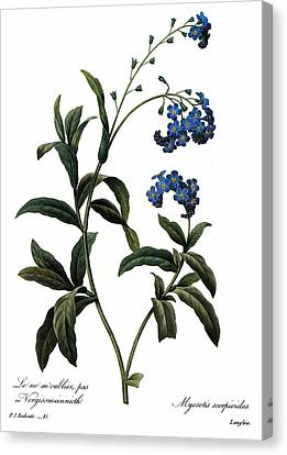 Forget-me-not Canvas Print by Granger