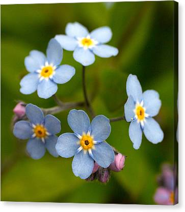 Forget-me-not Canvas Print by Jouko Lehto