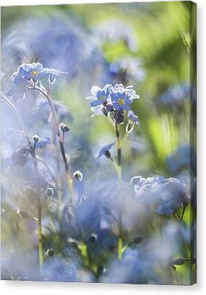 Forget Me Not Profusion Canvas Print by Mo Barton